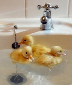 ducklings_tumblr