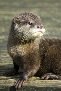 Baby Otter - Cute