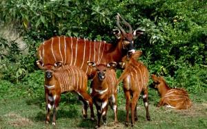 antelope_bongo_chuckupd